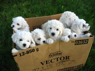 lots of puppies in a box